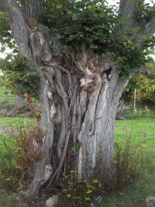 Linde mit innenliegenden Wurzeln, Branderoda, Foto: K. Popko