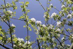 Blüten historischer Apfelbaumsorten. Foto: Kulturstiftung Sachsen-Anhalt