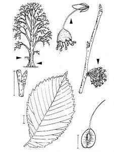 Ulmus laevis PALL Zeichnung: U. Braun (Berlin). Pfeil = Hinweis auf wichtige Merkmale l———l 1 cm-Maßstab l ···········l Zuordnungslinie