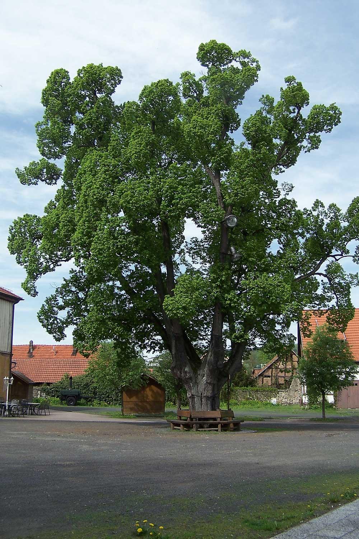 Die 500-jährige Amtslinde in Kaltennordheim, Thüringen, Foto: Metilsteiner. Lizenz: Creative Commons - Weitergabe unter gleichen Bedingungen