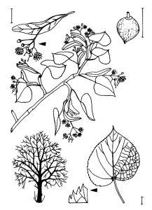 Tilia cordata MILL. Zeichnung A. Sickert, Halle (Saale)
