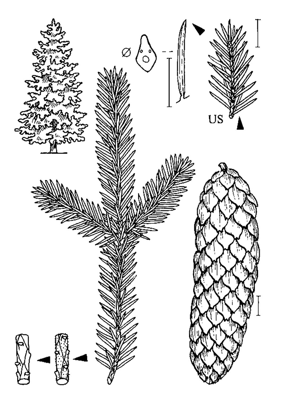 Picea abies (L.) H. KARST.   Zeichnung: U. Braun (Berlin) Pfeil = Hinweis auf wichtige Merkmale, ——— 1 cm-Maßstab,   - - - Zuordnungslinie,US = Unterseite.