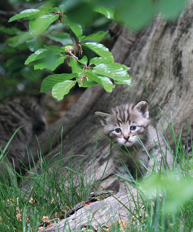 Wildkatzenjunges, Foto: Frank Raimerrank Raimer