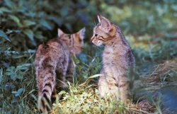 Junge Wildkatzen, Foto: Frank Raimer