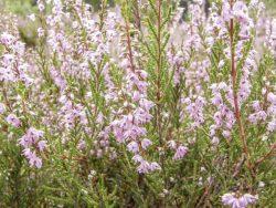 Heidekraut (Calluna vulagris) in der Osterheide bei Schneverdingen, Niedersachsen. https://commons.wikimedia.org/wiki/File:Calluna_vulgaris_005.jpg, Willow [CC BY-SA 3.0 (https://creativecommons.org/licenses/by-sa/3.0)]