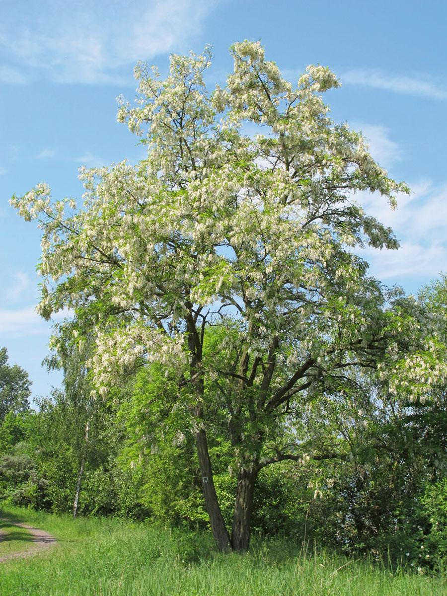 Gewöhnliche Robinie (Robinia pseudoacacia L.). Bildquelle: Datenbank des Botanischen Vereins Sachsen-Anhalt e.V. Der Abdruck wurde freundlicherweise vom Botanischen Verein gestattet.