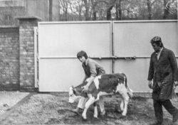 1985, als ungelernte Tierarzthelferin auf dem Gelände der Tierklinik in der  Emil-Abderhalden-Straße in Halle mit Kälbchen Karin. Foto: Karin Reglich privat.