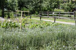Feldgartenfläche mit historischen Sonderkulturen. Foto: FLM Diesdorf