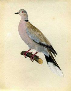 Türkentaube. Aquarell von J. F. Naumann, um 1837. Archiv Naumann-Museum