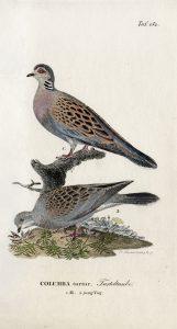"""Turteltaube, Männchen und Jungvogel. Kupferstich aus: """"Naturgeschichte der Vögel Deutschlands …"""" Band 6 von J. F. Naumann, 1833. Archiv Naumann-Museum"""
