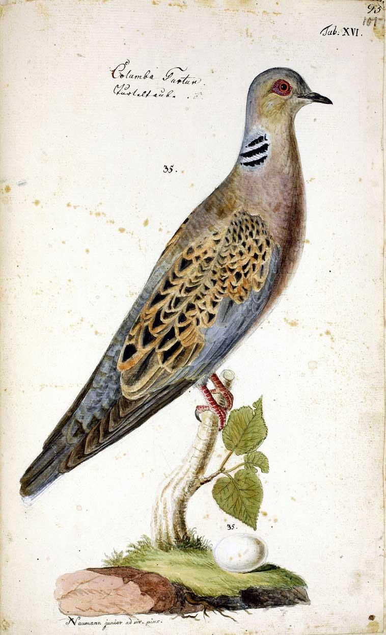 Turteltaube. Aquarell von J. F. Naumann, vor 1820. Archiv Naumann-Museum